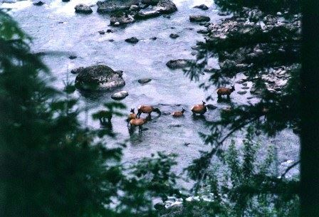 View of deer in the river.